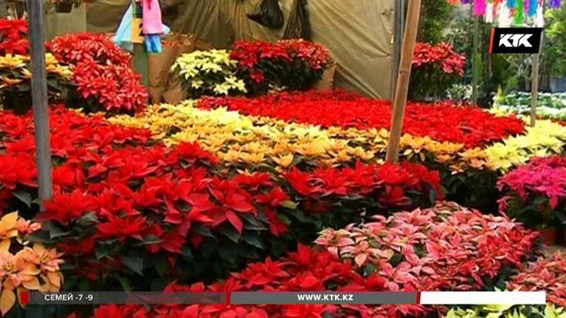 К Рождеству мексиканские флористы вырастили 16 миллионов пуансеттий