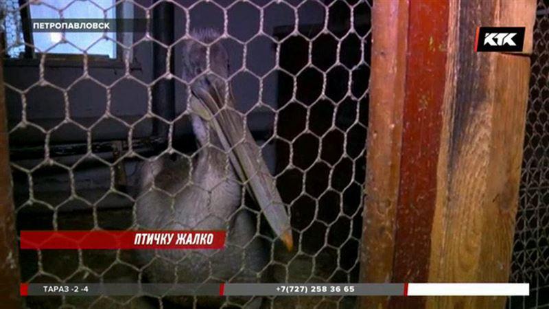 Чтобы спасти пеликана, волонтеры носят рыбу в петропавловский ботанический сад
