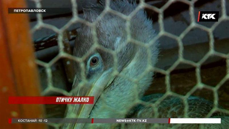 Пеликану, который живет теперь в петропавловском ботаническом саду, нужна рыба