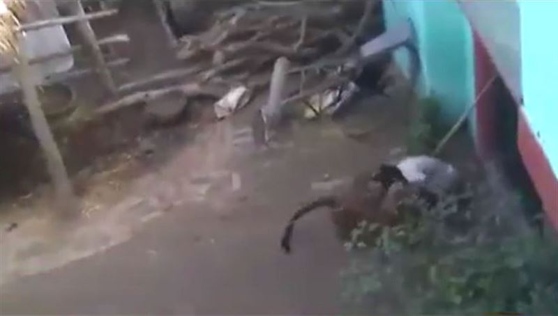 ВИДЕО: пожилой мужчина одержал верх в поединке с леопардом