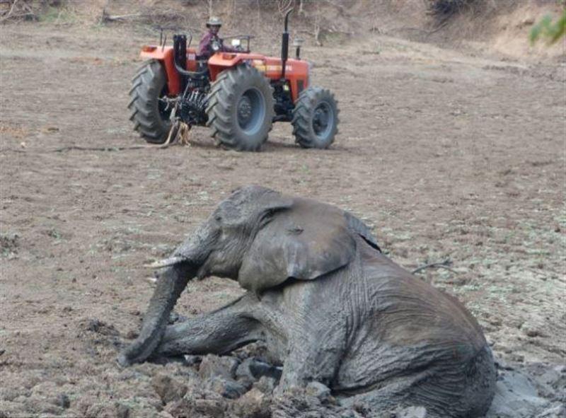 Жители индийской деревни спасли застрявшего в грязи слона