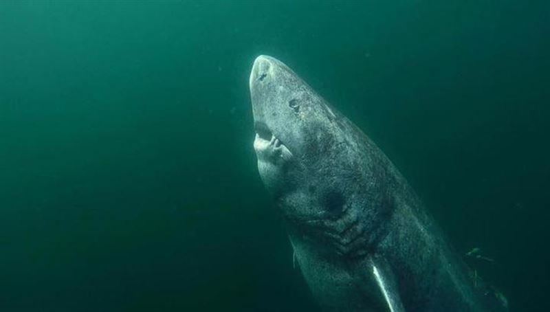 ФОТО: Найдена акула, чей возраст может составлять более пятисот лет