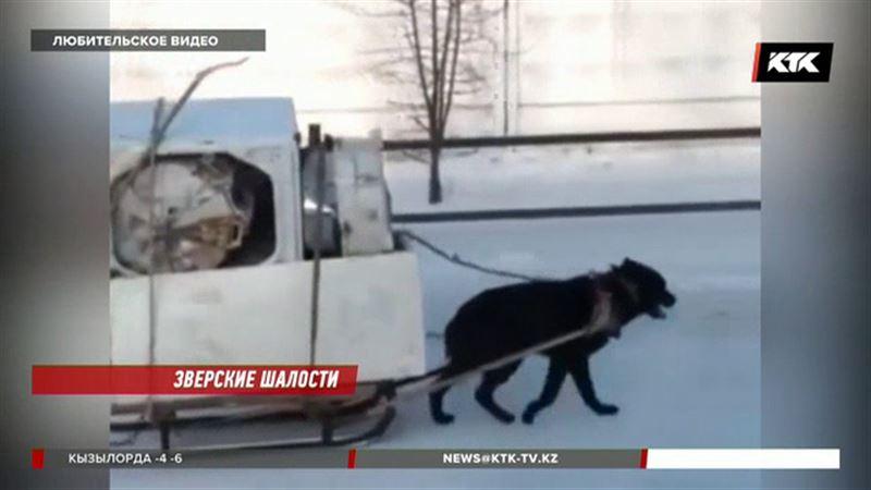 «Ездовая» собака вызвала шквал критики зоозащитников
