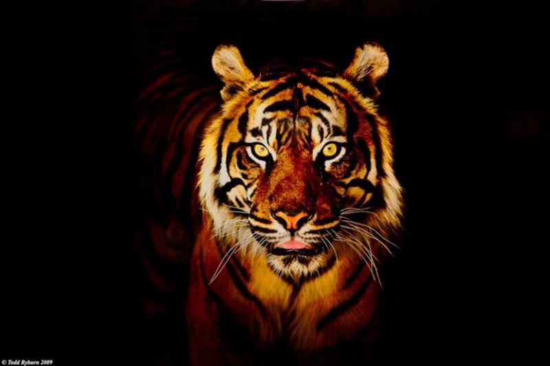 Тигр сорвал свадьбу в индийской деревне