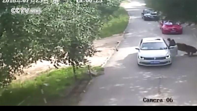 ШОК: На посетительницу сафари-парка напал тигр