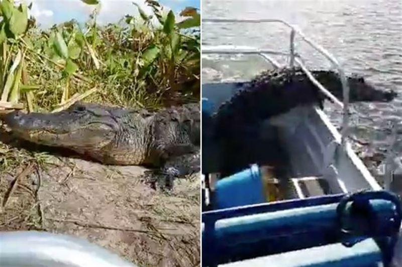 Гигантский аллигатор внезапно запрыгнул в лодку с туристами