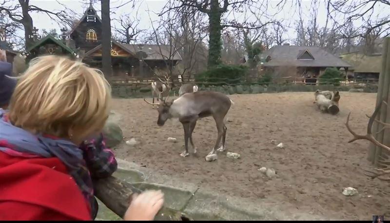 Дети покормили главных помощников Санта Клауса – северных оленей