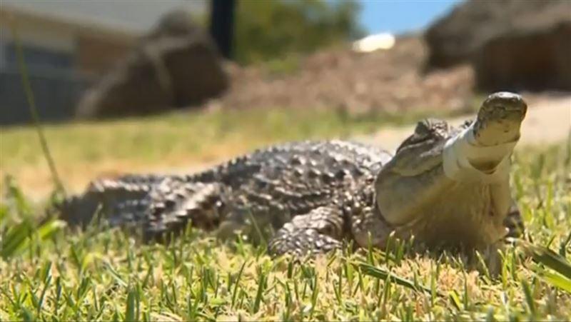 По улицам Мельбурна прогуливался детеныш крокодила