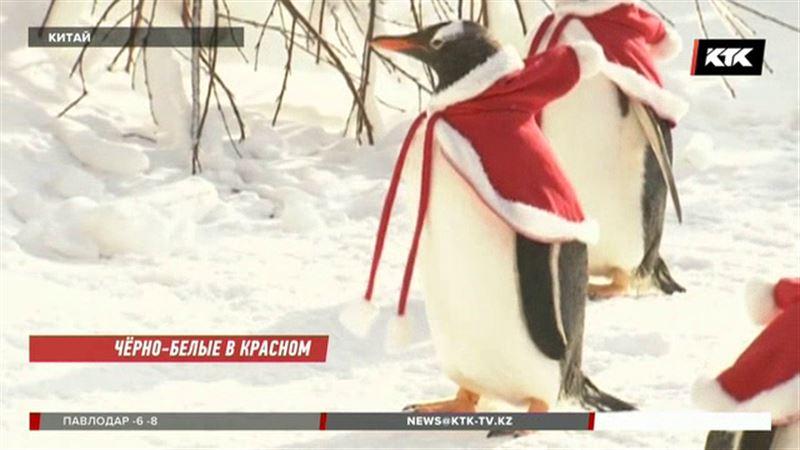 Пингвинов нарядили к празднику