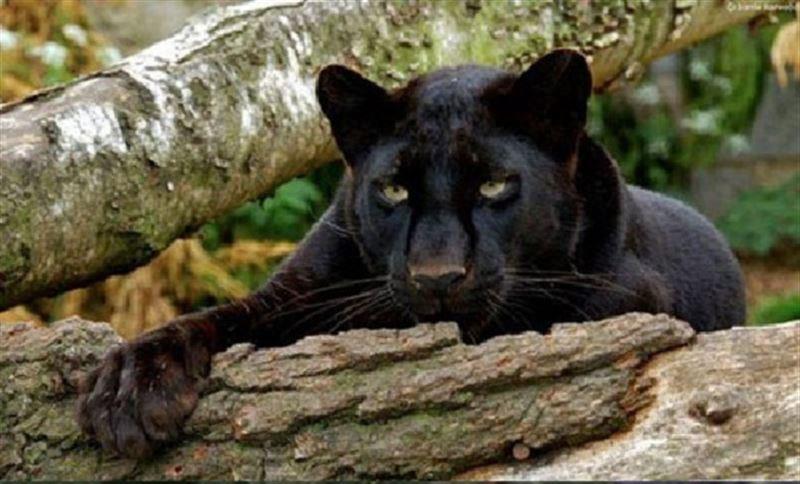 Пантера вырвалась из вольера и растерзала мужчину в Подмосковье