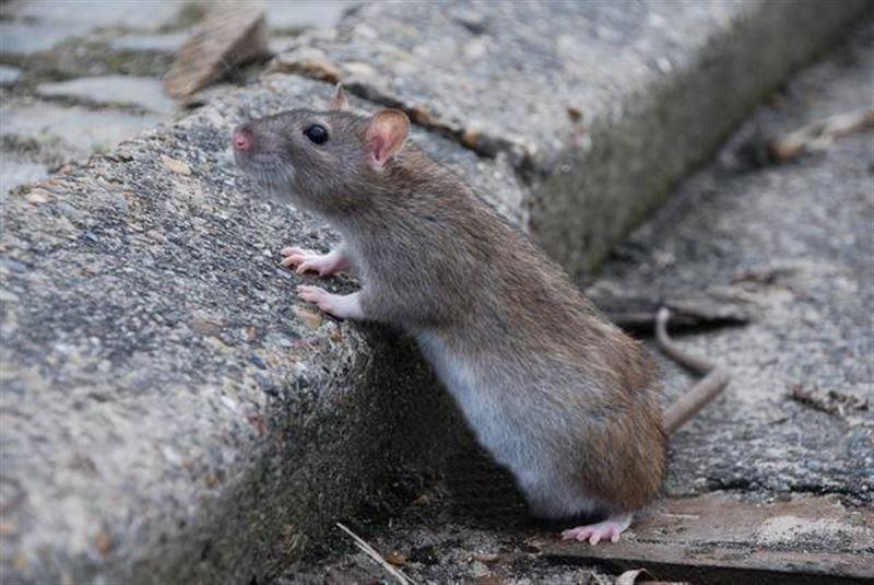 ШОК: По прилавку с выпечкой бегает крыса