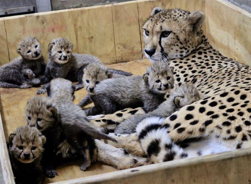 В американском зоопарке самка гепарда родила рекордное число детенышей