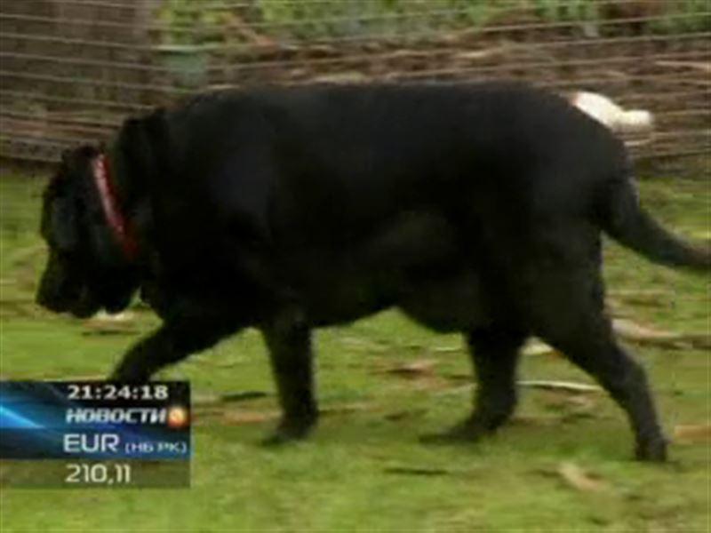 В Австралии пса посадили на принудительную диету