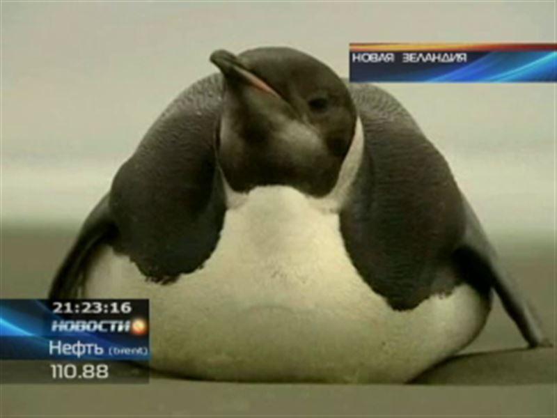 На новозеландском пляже появился пингвин