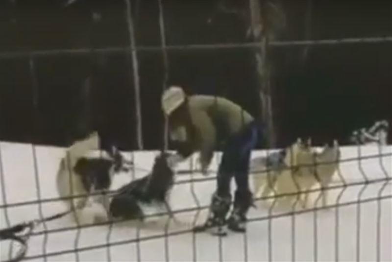 Опубликовано шокирующее видео избиения собак сотрудницей хаски-центра