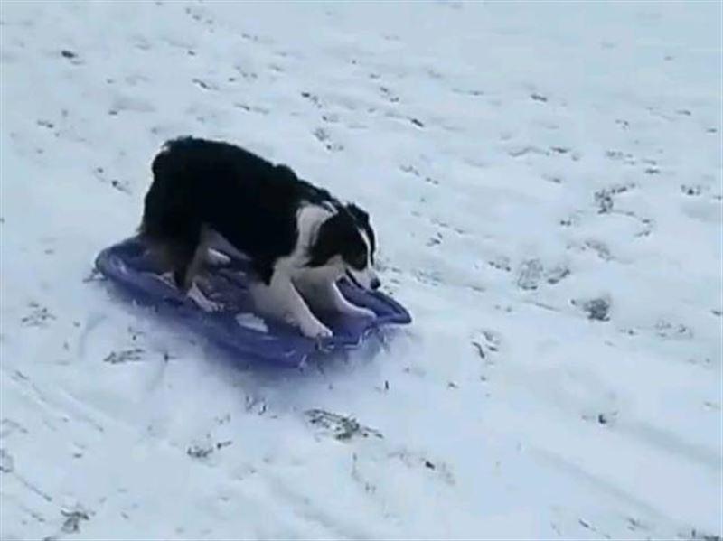 Видео катающейся на ледянке собаки покорило Сеть