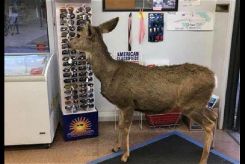 ФОТО: Самка оленя ушла из магазина с лакомством, но вернулась уже не одна
