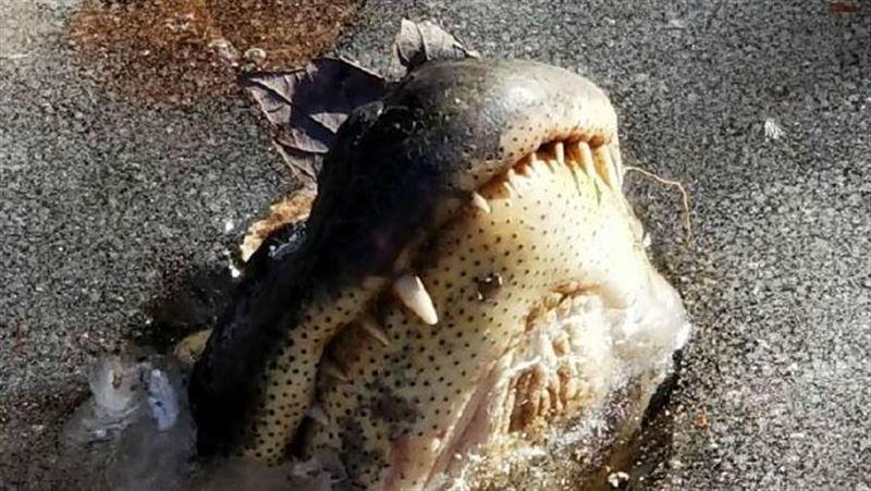 ВИДЕО: В Северной Каролине аллигаторы «замерзают», чтобы выжить в ледяной воде