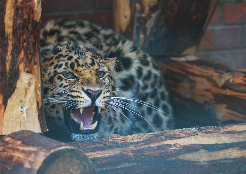 Леопард напал на двухлетнего мальчика в приморском зоопарке