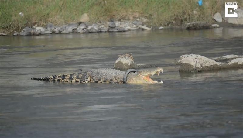 Не менее двух лет крокодил живет с мотоциклетной шиной на шее