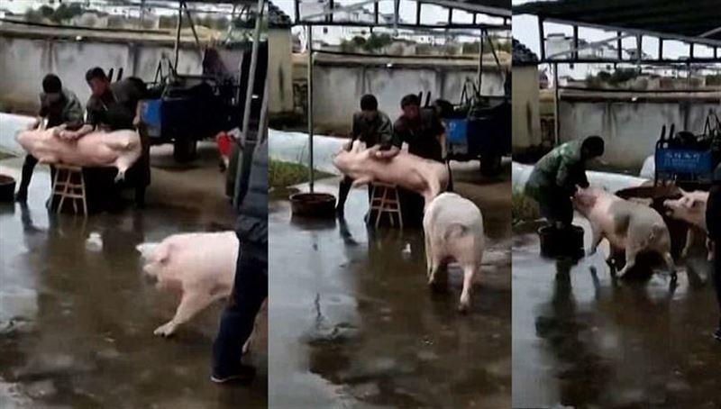 ВИДЕО: Свинья напала на мясников, освобождая своего собрата