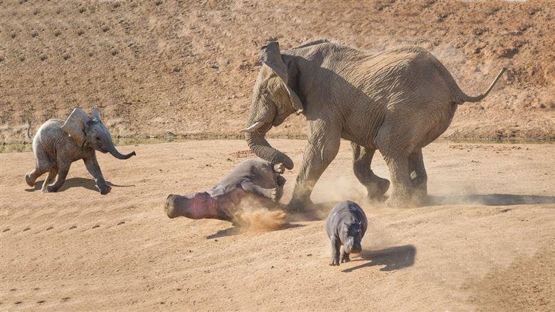 Разъяренная слониха избила хоботом бегемотов, защищая детеныша