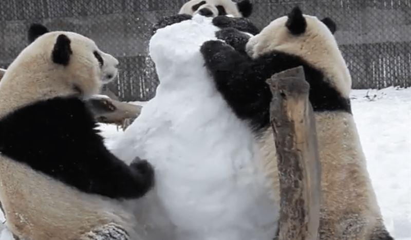 Новый хит YouTube: Панды набросились на снеговика в зоопарке Канады