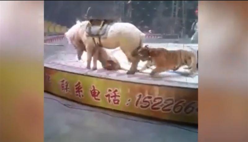 В Сети появились шокирующие кадры нападения львицы и тигра на лошадь в цирке