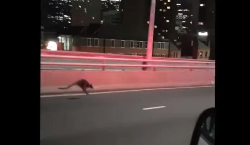 ВИДЕО: Полицейские Австралии устроили погоню за кенгуру