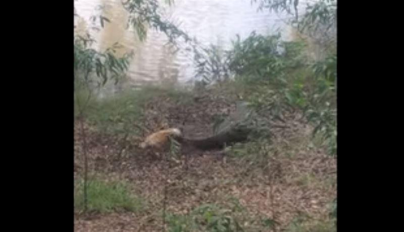 В Сети появилось видео схватки собаки и крокодила