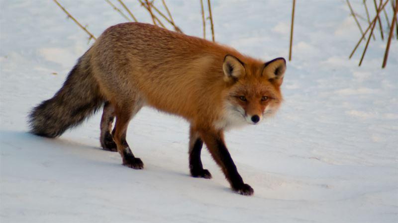 В Сети набирает популярность ролик с кормящим лисицу рыбаком