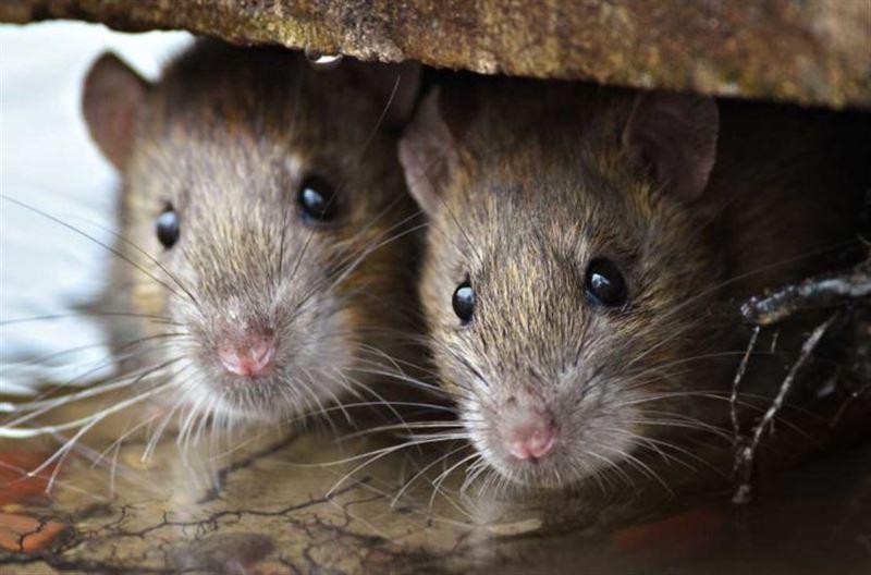 Парижский мусорщик опубликовал видео с кишащими в баке крысами