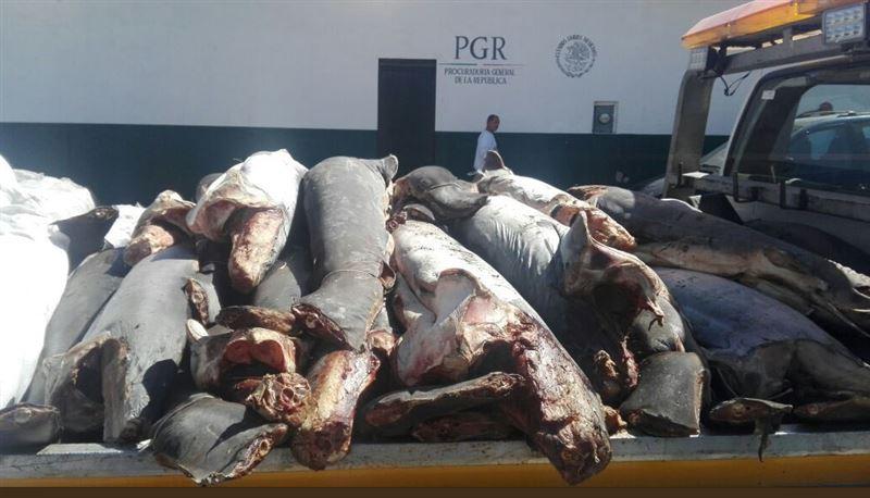 ФОТО: В Мексике на шоссе обнаружили 300 мертвых акул