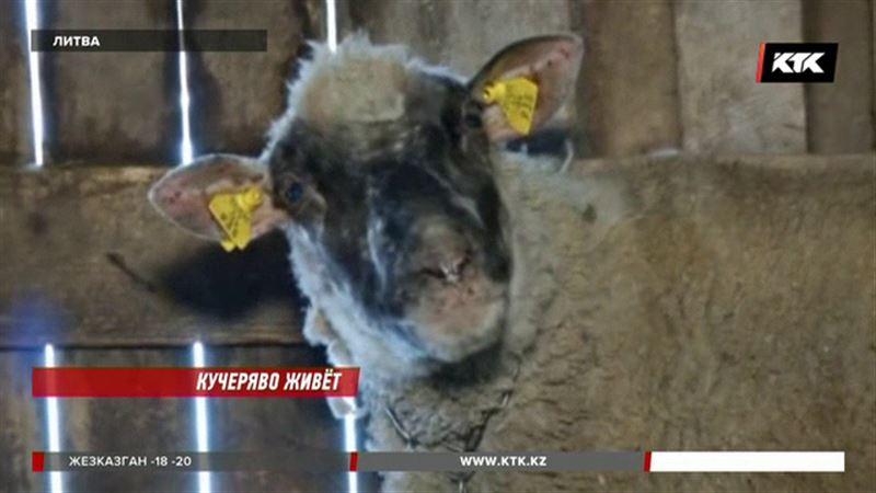В Литве овца принесла восемь ягнят
