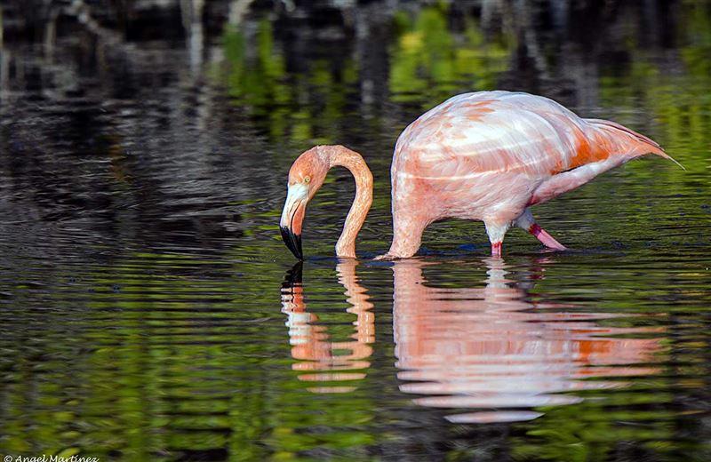 ВИДЕО: Фламинго клюнул девушку, которая хотела сделать с ним селфи