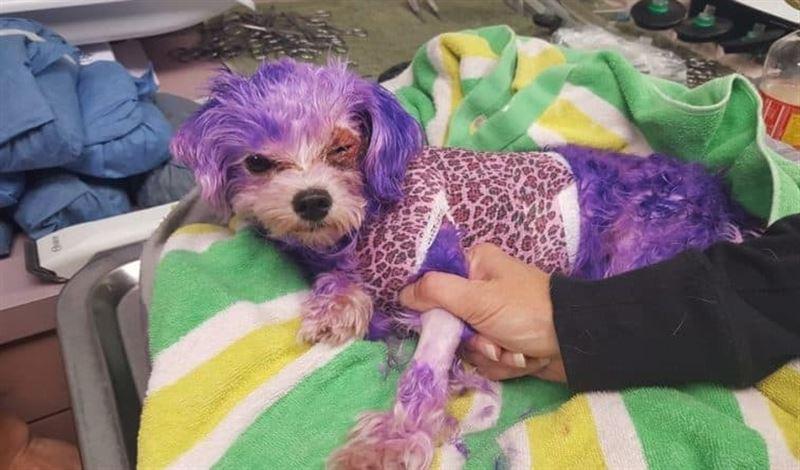 Во Флориде чуть не умерла покрашенная в фиолетовый цвет собака
