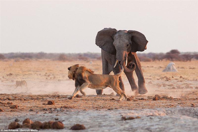 Слониха отразила нападение льва на слоненка