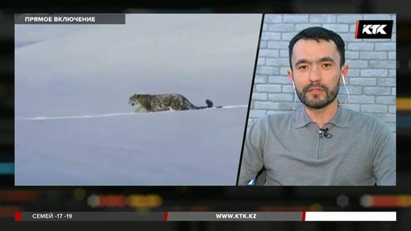Разводить снежных барсов хотят в горах Алматы