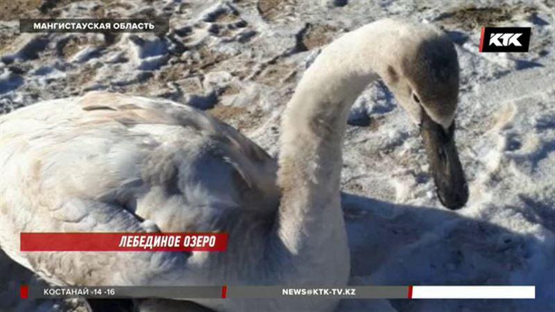Лебедей спасают на замерзающем Каспии