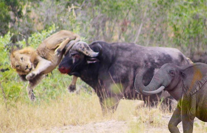 Буйволы спасли слоненка, которого собирались съесть львы