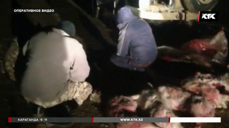 Десяток краснокнижных сайгаков убили в Кызылординской области