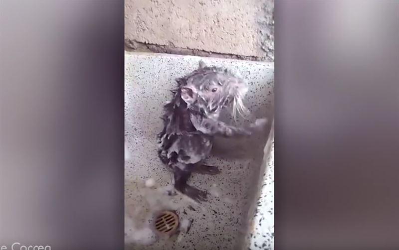 Раскрыта тайна вирусного видео с моющейся в душе крысой
