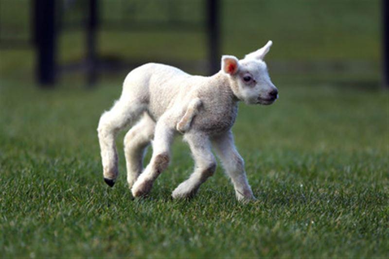 В Англии родился здоровый ягненок с пятью конечностями