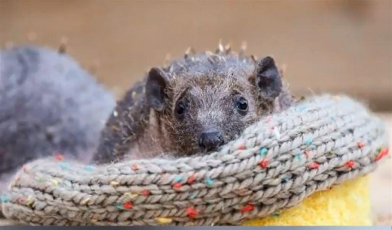 ФОТО: В Британии зоозащитники спасли ежей, родившихся без иголок