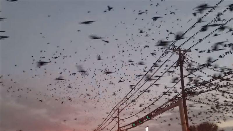 Нашествие черных птиц в Техасе взбудоражило очевидцев