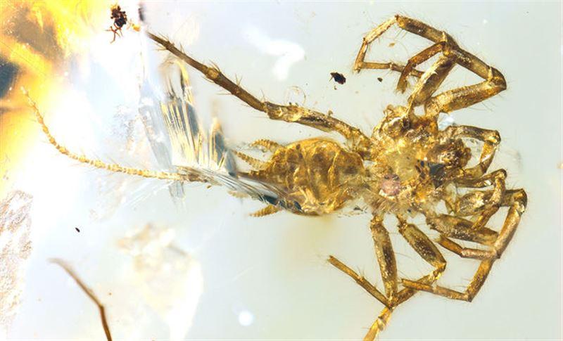 В янтаре обнаружили древнего паука с длинным хвостом