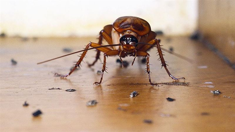 О происхождении тараканов узнали ученые