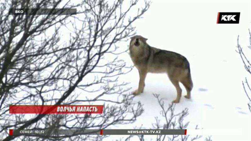 Из-за волков крестьянские хозяйства ВКО терпят миллионные убытки