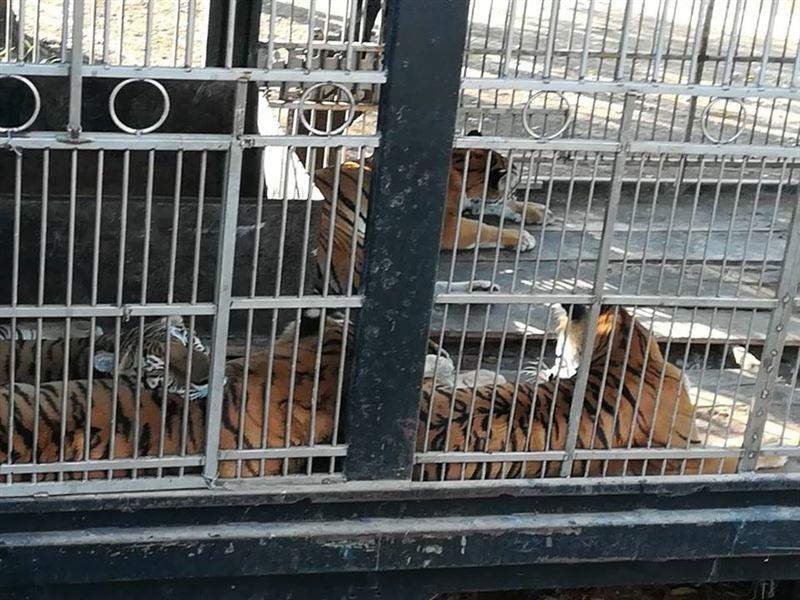 ШОК: Цирковые тигры оставили смотрителя без рук