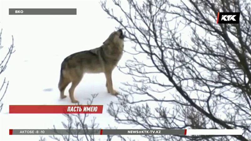 Волки подбираются всё ближе к населённым пунктам ВКО